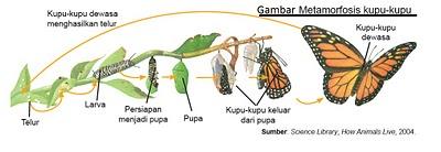 1 daur hidup serangga serunya belajar ilmu pengetahuan alam sd gbr metamorfosis kupu kupu ccuart Gallery